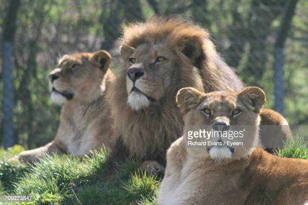 Lions On Grass