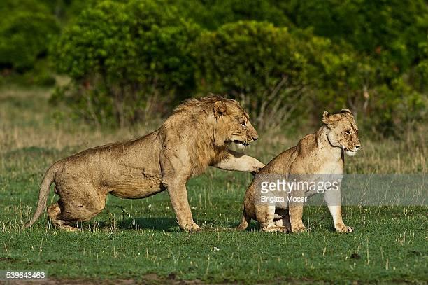 Lions -Panthera leo-, adult couple before mating, Maasai Mara, Kenya