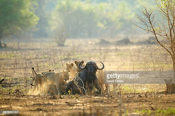 lions - panthera leo - attacking a buffalo - syncerus caffer - maltrato animal fotografías e imágenes de stock