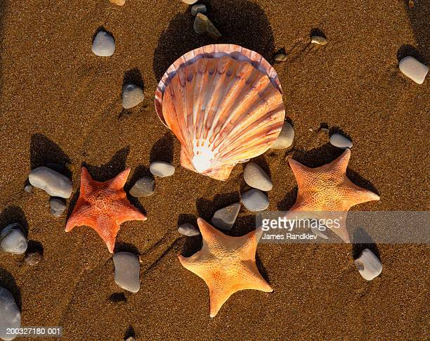 Lion's paw scallop shell (Lyropecten nodosus) and batstars