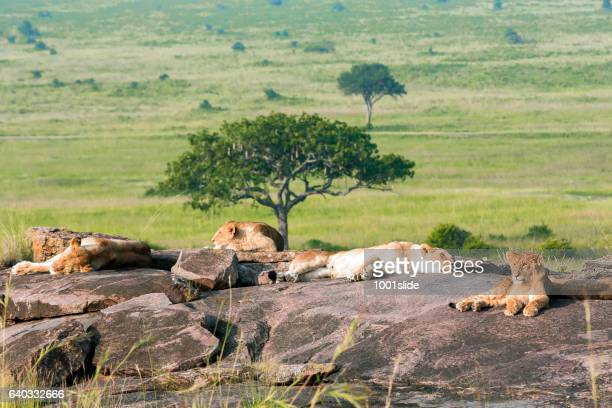 lions - wildlife reserve stock pictures, royalty-free photos & images