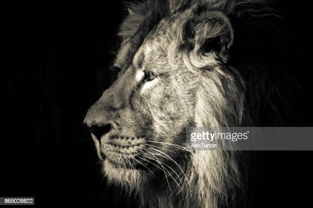 lions - lion roar stock pictures, royalty-free photos & images