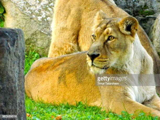 lions - czech hunters stock pictures, royalty-free photos & images