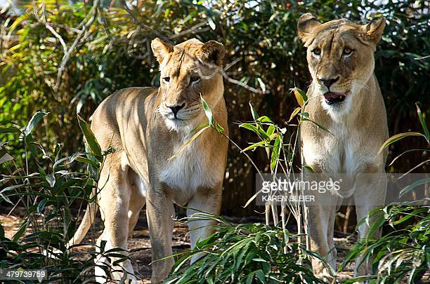 Lions play in their enclosure March 20 2014 at the Smithsonian's National Zoo in Washington DC The first day of spring brought balmy temperatures of...