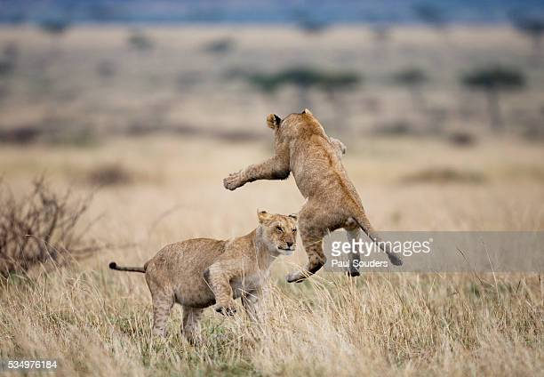 lions playing in masai mara game reserve, kenya - lion cub stock photos and pictures