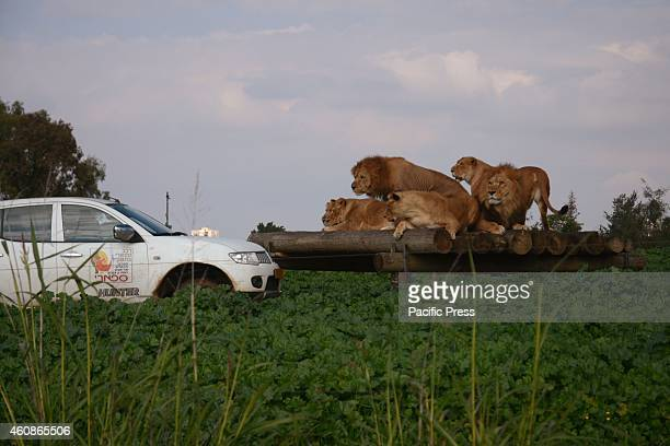 Lions reacting to a routine tour of one of the safari rangers The Zoological Center Tel AvivRamat Gan is the largest collection of wildlife in human...