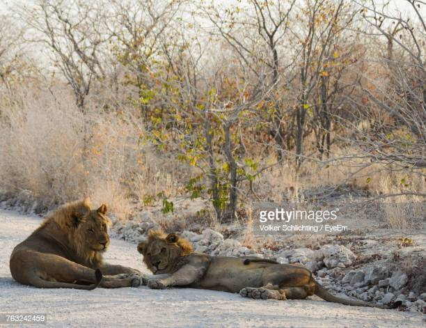 Lions Relaxing On Field During Winter