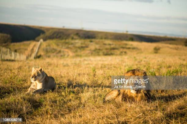 lions relaxing on grassy field - mossel bay stock pictures, royalty-free photos & images