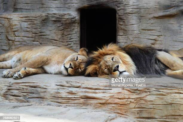 Lions Relaxing Outdoors