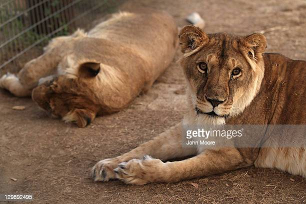 Lions rescued from poor circus conditions in Panama lie at The Wild Animal Sanctuary on October 20 2011 in Keenesburg Colorado The nonprofit...