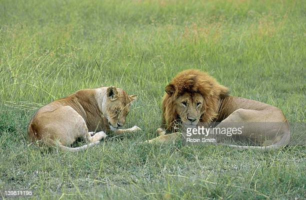 lions resting, masai mara, kenya - eastern african tribal culture stock photos and pictures