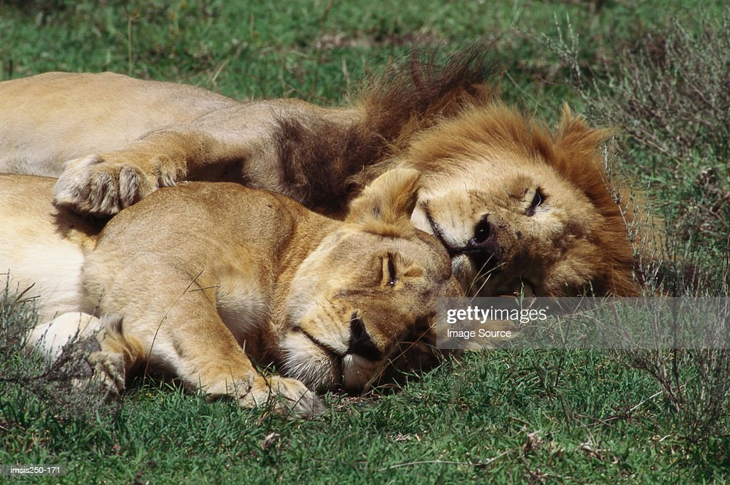 Lions resting : Stock Photo