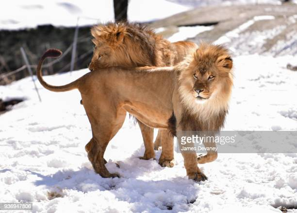 Lions seen at the Bronx Zoo on March 22 2018 in New York City