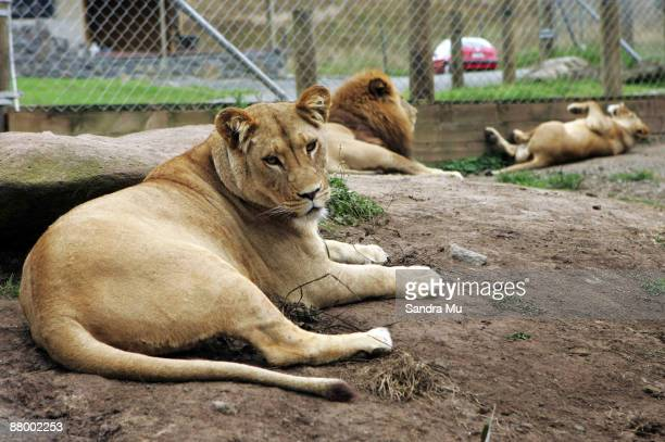 Lions sit in their enclosure at the Zion Wildlife Park on February 7 2006 in Whangarei New Zealand A zookeeper was killed on May 27 2009 by a white...
