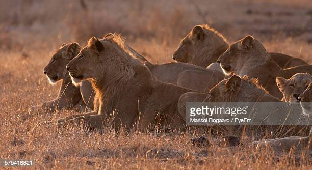 lions sitting on grass field in kruger national park - kruger national park stock pictures, royalty-free photos & images