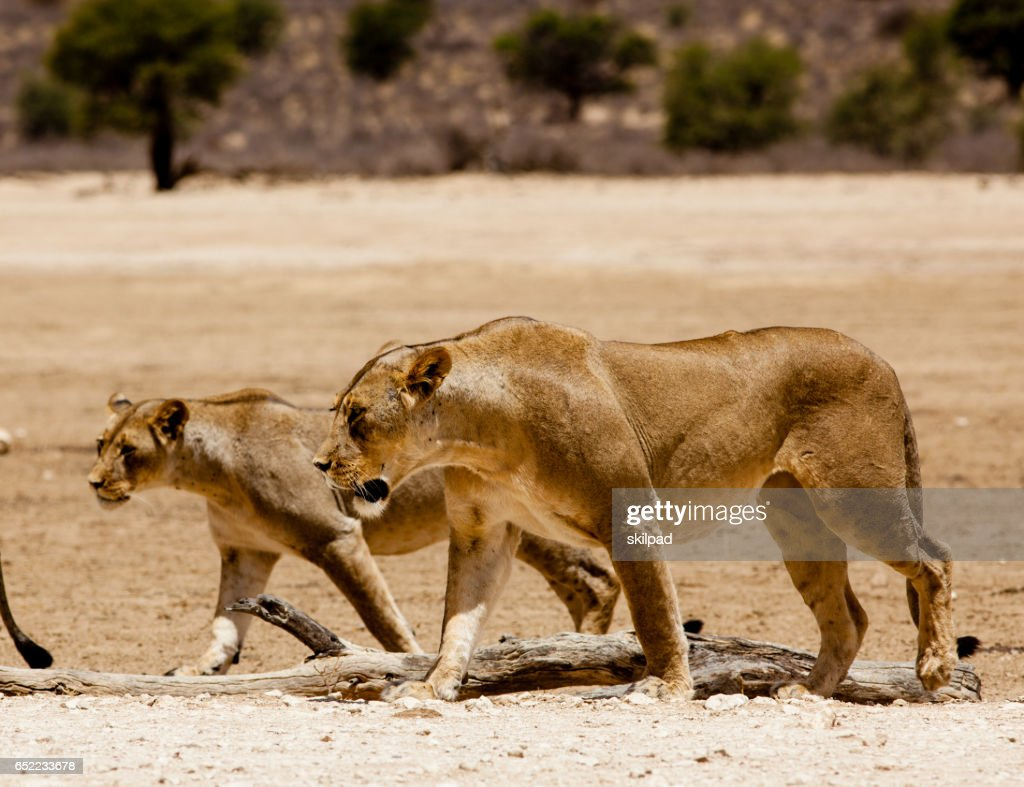 Lions walking across plains in Kgalagadi game park, South Africa : Foto stock
