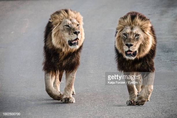 lions walking on road - animais machos - fotografias e filmes do acervo