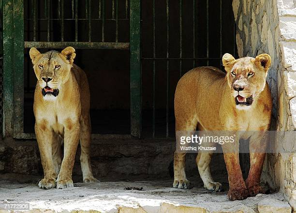Lions watch visitors in Baghdad zoo on September 2 2006 in Baghdad Iraq Sectarian violence is on the rise as previous days witnessed a series of...
