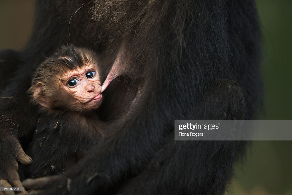 Lion-tailed macaque baby aged less than 1 month suckling : Stock Photo