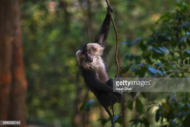Lion-tailed macaque sub-adult male swinging in a tree
