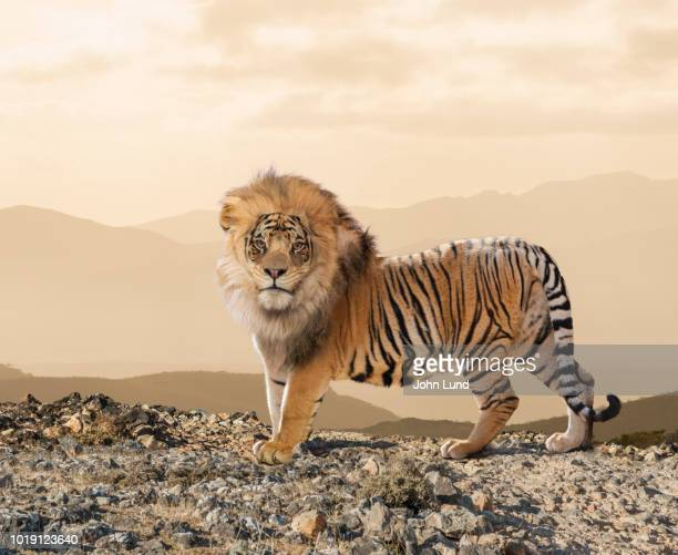lion-tiger cross breed - genetic modification stock pictures, royalty-free photos & images
