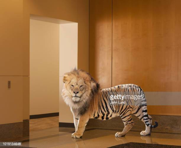 Lion-Tiger Hybrid In Corporate Lobby