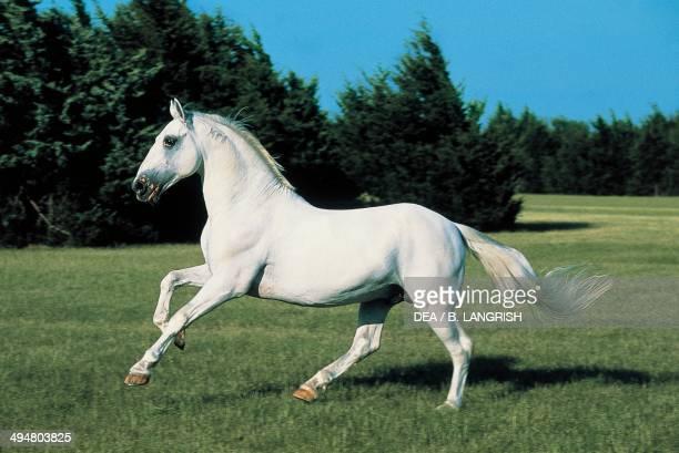 Lipizzan or Lipizzaner horse Equidae
