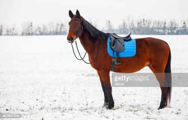 Lipizzan x hanoverian horse and snowy landscape