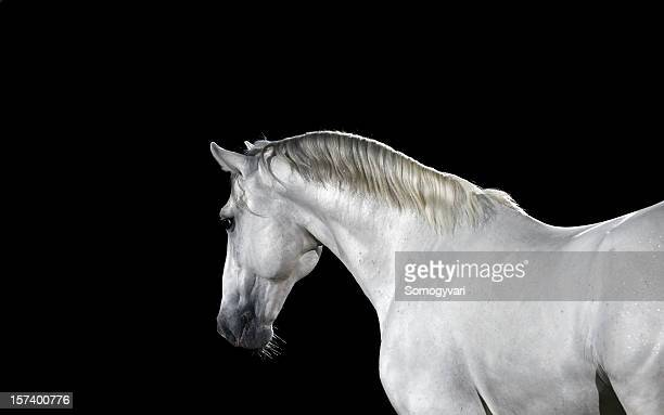 lipizzaner horse 09 - thoroughbred horse stock photos and pictures