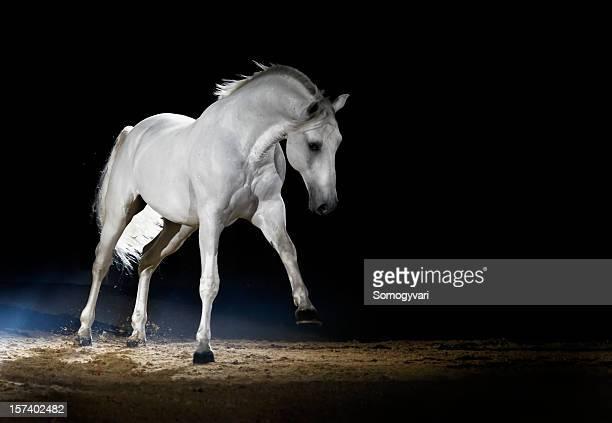 cheval lipizzaner, jeu - cheval blanc photos et images de collection