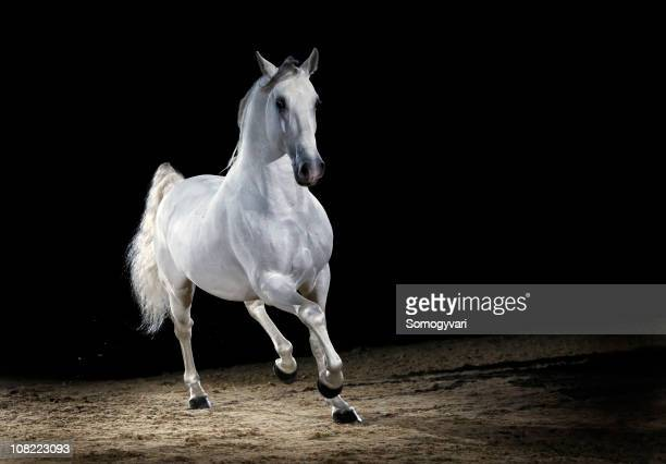 lipizzaner horse stallion trotting - stallion stock photos and pictures