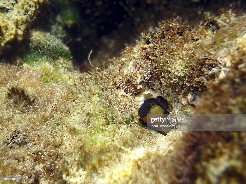 Lipophrys canevae : Foto de stock