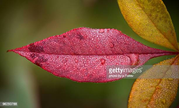 Lips shaped red wet leaf