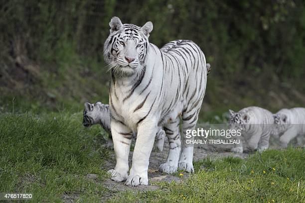 Lisa the tiger mother and her three twomonthold baby white tigers are pictured on the grass at the Cerza zoo in HermivallesVaux northwestern France...
