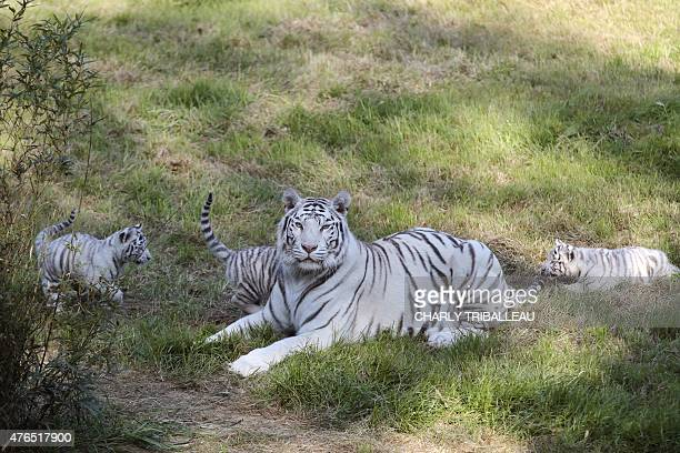 Lisa the tiger mother and her three twomonthold baby white tigers rest on the grass at the Cerza zoo in HermivallesVaux northwestern France on June...