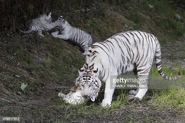 Lisa the tiger mother and her three twomonthold baby white tigers play on the grass at the Cerza zoo in HermivallesVaux northwestern France on June...