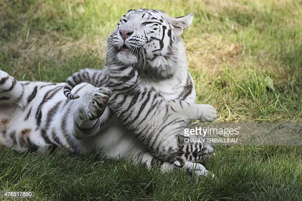 Lisa the tiger mother and one of her three twomonthold baby white tigers play on the grass at the Cerza zoo in HermivallesVaux northwestern France on...