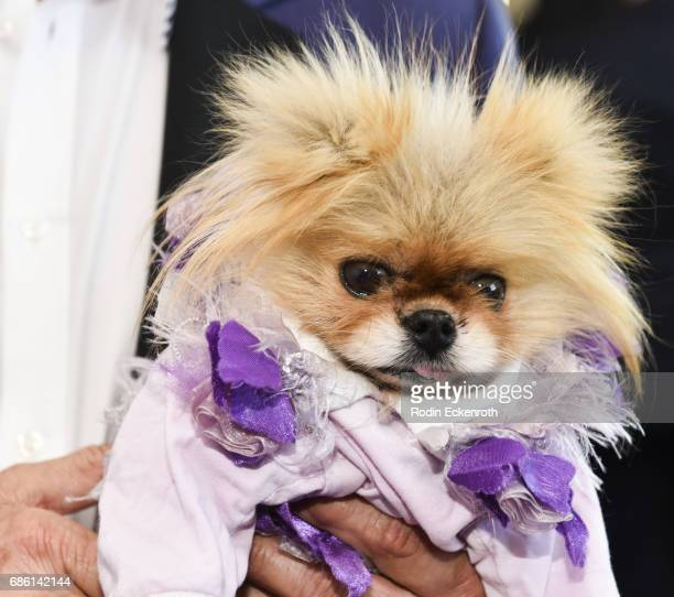 Lisa Vanderpump's dog Giggy attends the Gay Men's Chorus of Los Angeles 6th Annual Voice Awards at JW Marriott Los Angeles at LA LIVE on May 20 2017...