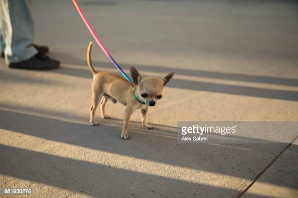 A cute and tiny Chihuahua dog at sunset.