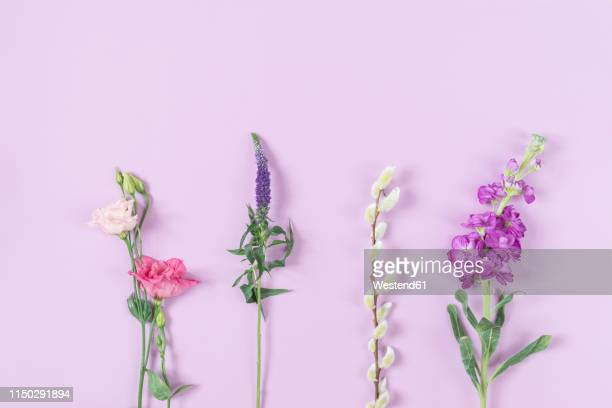 lisianthus flower , eistoma grandiflorum, longleaf speedwell, veronica longifolia, goat willow, salix caprea, levkoje, matthiola, pink background - ブツ撮り ストックフォトと画像