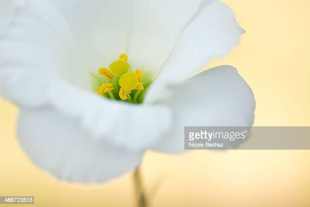 Lisianthus flower