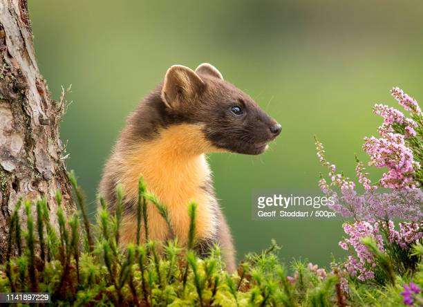 listen! - pine marten stock pictures, royalty-free photos & images