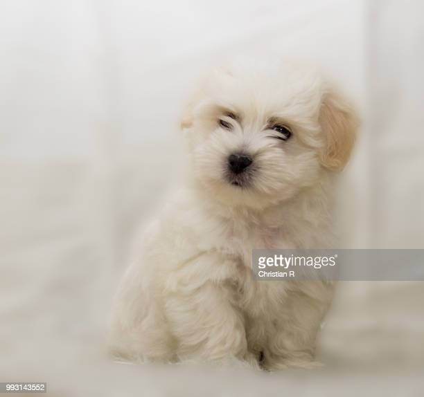 listening - maltese dog stock pictures, royalty-free photos & images