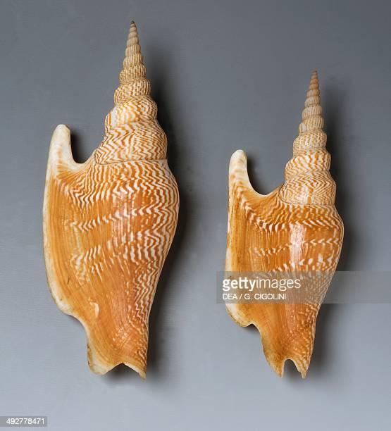 Lister's Conch shells Littorinimorpha endemic to Phuket Thailandia