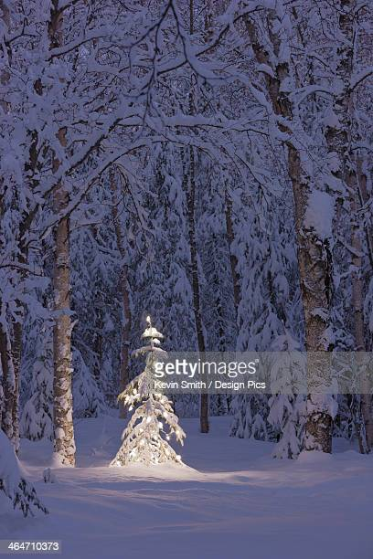 Lit Christmas Tree In A Birch Forest At Twilight