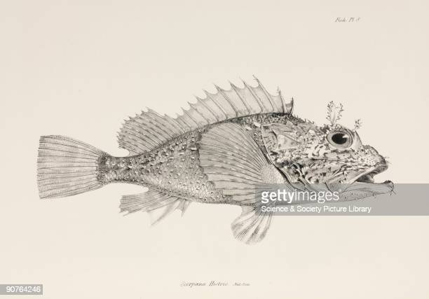 Lithograph after a drawing by Waterhouse Hawkins from 'The Zoology of the Voyage of HMS Beagle' published in London 18391843 and edited by the...