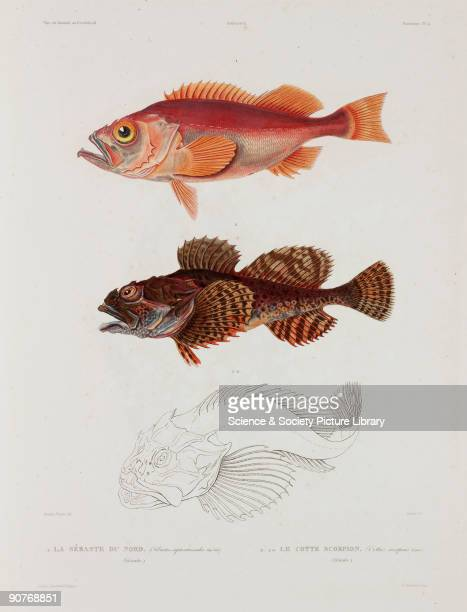 Lithograph by Canu after Baron The lower fish is the Father Lasher or Short spined sea scorpion Illustration from �Voyage en Islande et au Groenland...