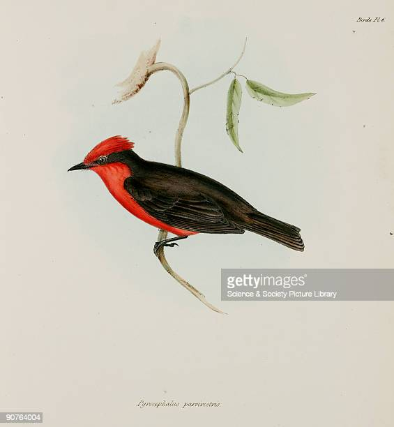 Lithograph by Elizabeth Gould after a drawing by her husband John Gould, from 'The Zoology of the Voyage of HMS Beagle', published in London,...