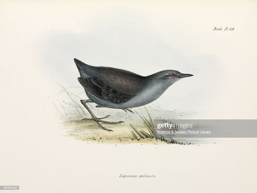 Rail or crake, c 1832-1836. : News Photo