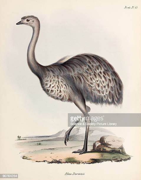 Lithograph by Elizabeth Gould after a drawing by her husband John Gould from 'The Zoology of the Voyage of HMS Beagle' published in London 18391843...
